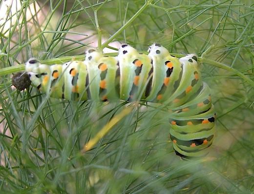 aniseswallowtail061409.jpg