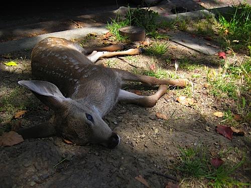 deer060810.jpg