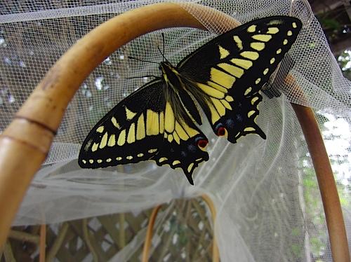aniseswallowtail091810.jpg