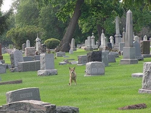 coyote080511.jpg
