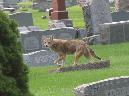 coyote080511a.jpg