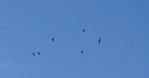 hawkcrows112611.jpg