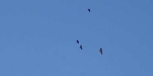 hawkcrows112611b.jpg