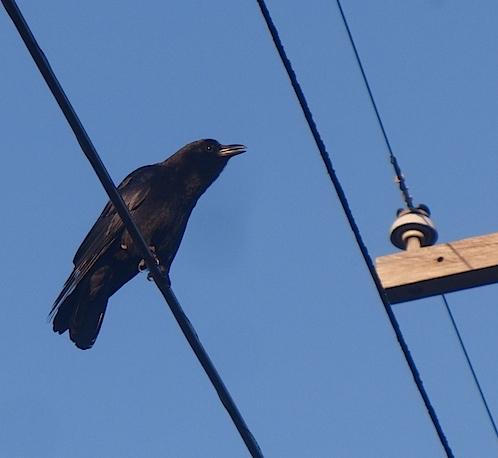 crow010112.jpg