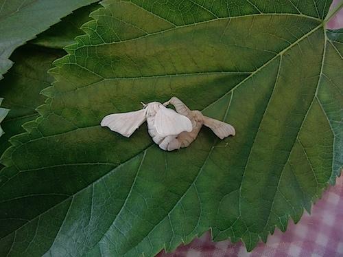 silkworms062812a.jpg