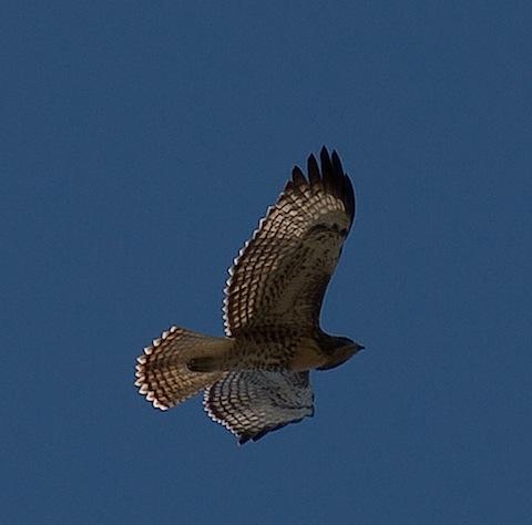 hawk072012.jpg