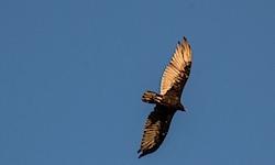 vultures052413b.jpg