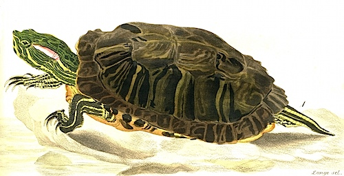 turtle-bodmer.jpg