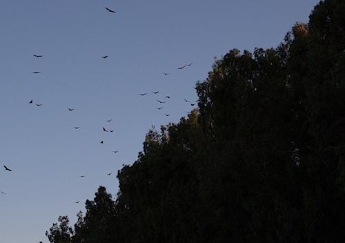vultures052413.jpg