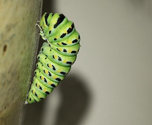 aniseswallowtail3.jpg