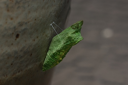 aniseswallowtail2.jpg
