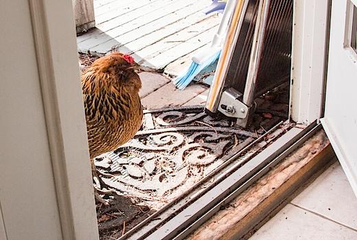 chicken141213.jpg