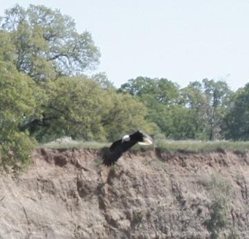 Eagle033008