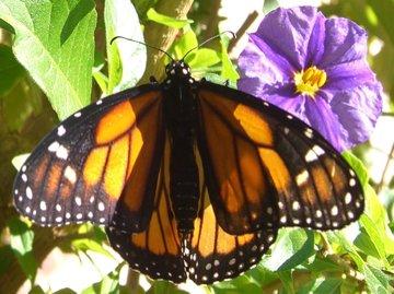 Monarch093007